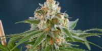 Subcool Seeds - Alchemy cannabis seeds