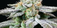 Subcool Seeds - Grape Inferno cannabis seeds