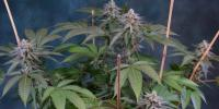 Subcool Seeds - Killer Grape cannabis seeds