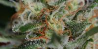 Subcool Seeds - Scarlet Queen cannabis seeds