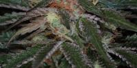 Subcool Seeds - Purple Apollo cannabis seeds