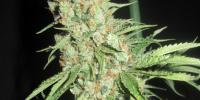 Ultra Genetics - Space Grape cannabis seeds