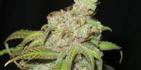 Ultra Genetics - Ultra Grapefruit cannabis seeds