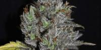 VIP Seeds - Viagrra cannabis seeds