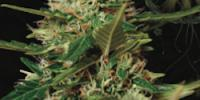Vision Seeds - Auto Super Skunk cannabis seeds