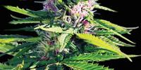 Vision Seeds - Blue Power cannabis seeds