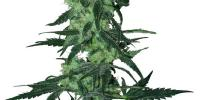 White Label Seeds - Amnesia White cannabis seeds