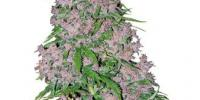 White Label Seeds - Purple Bud cannabis seeds