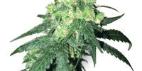 White Label Seeds - Rhino cannabis seeds
