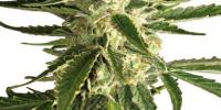 White Label Seeds - White Diesel Haze cannabis seeds