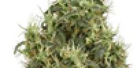 White Label Seeds - White Gold cannabis seeds