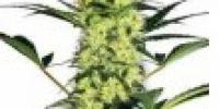 White Label Seeds - White Haze cannabis seeds