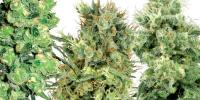 White Label Seeds - White Label Mixed Seeds cannabis seeds