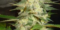 World of Seeds - Afgan Kush Ryder Auto cannabis seeds