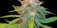World of Seeds - Chronic Haze cannabis seeds