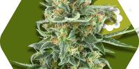 Zambeza Seeds - Little Dwarf Auto cannabis seeds