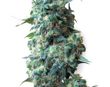 White Label Seeds - Afghan Kush cannabis seed