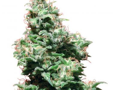 White Label Seeds - Kali Haze cannabis seed