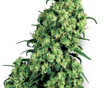 White Label Seeds - Skunk #1 cannabis seed