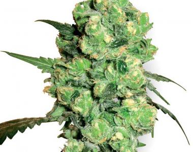 White Label Seeds - Super Skunk cannabis seed