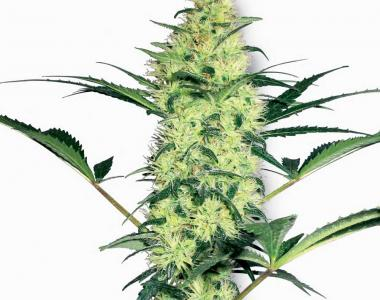 White Label Seeds - White Diesel cannabis seed