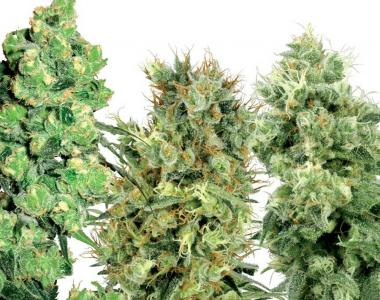 White Label Seeds - White Label Mixed Seeds cannabis seed