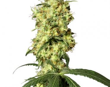 White Label Seeds - White Widow Automatic cannabis seed