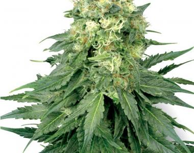 White Label Seeds - White Widow cannabis seed