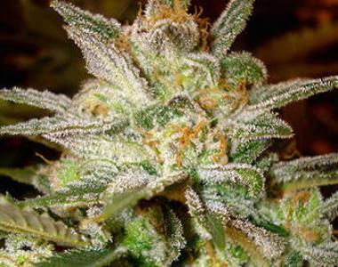 World of Seeds - Star 47 cannabis seed