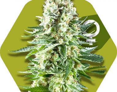 Zambeza Seeds - White Widow XL cannabis seed